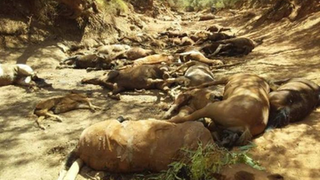 Upał zabija dzikie konie. Skrajnie wysokie temperatury w Australii